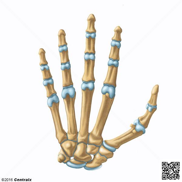 Falanges de los Dedos de la Mano - Atlas de Anatomía del Cuerpo ...