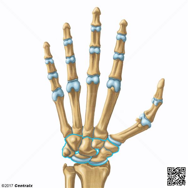 Huesos del Carpo - Atlas de Anatomía del Cuerpo Humano - Centralx