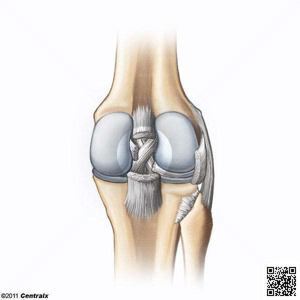Ligamento Cruzado Posterior - Atlas de Anatomía del Cuerpo Humano ...