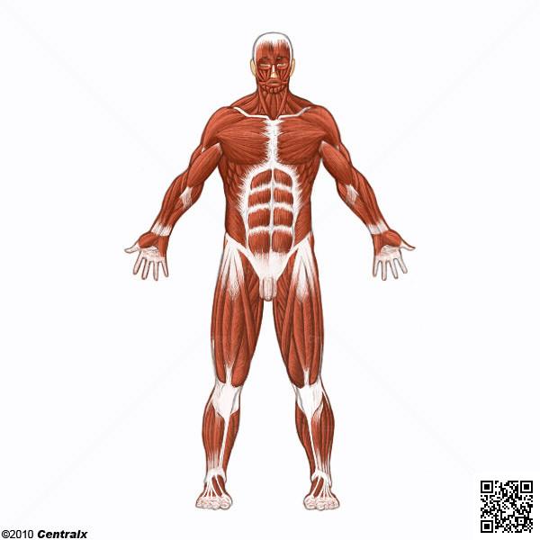 Músculos - Atlas de Anatomía del Cuerpo Humano - Centralx