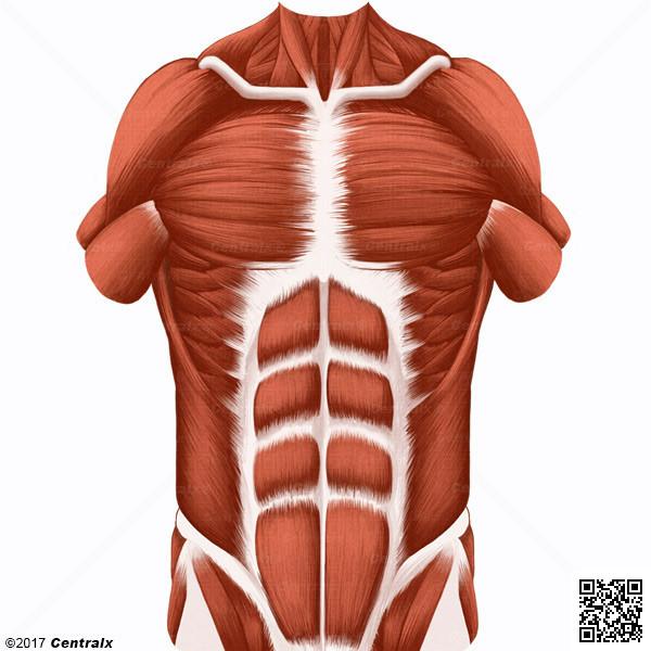 Músculos Abdominales - Atlas de Anatomía del Cuerpo Humano - Centralx
