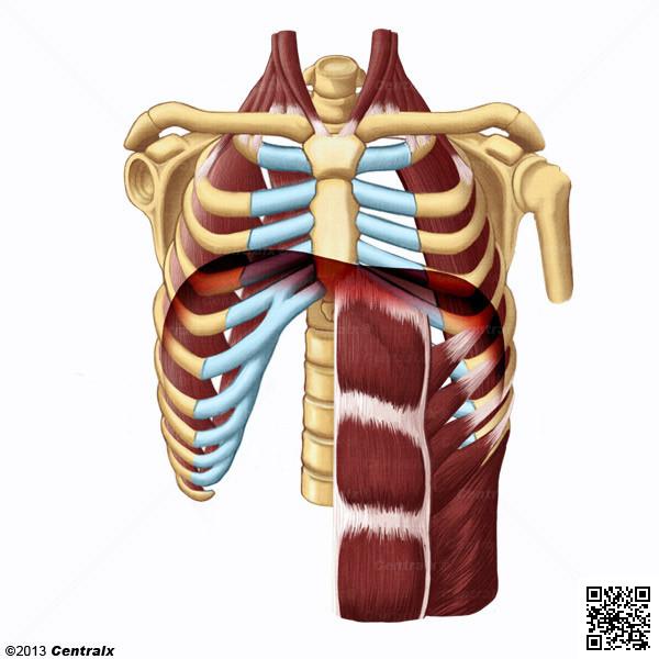 Músculos Respiratorios - Atlas de Anatomía del Cuerpo Humano - Centralx