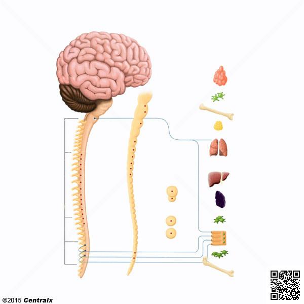 Sistema Nervioso Autónomo - Atlas de Anatomía del Cuerpo Humano ...