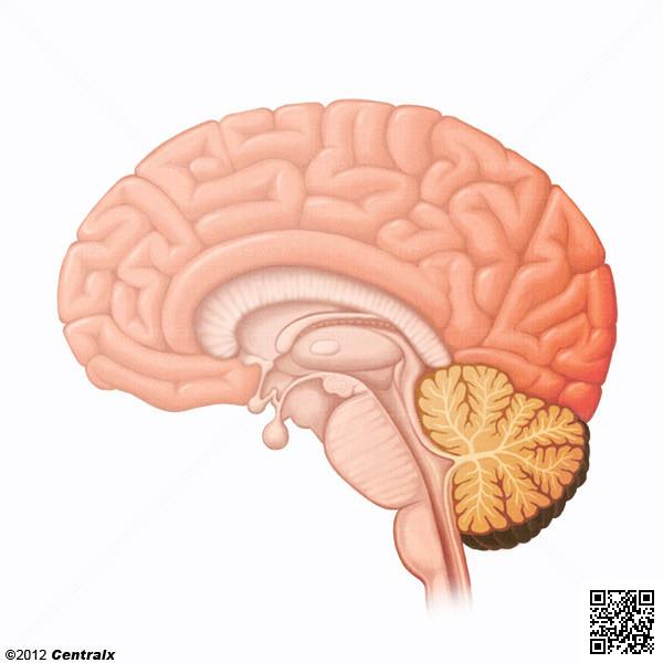 Encéfalo - Atlas de Anatomía del Cuerpo Humano - Centralx