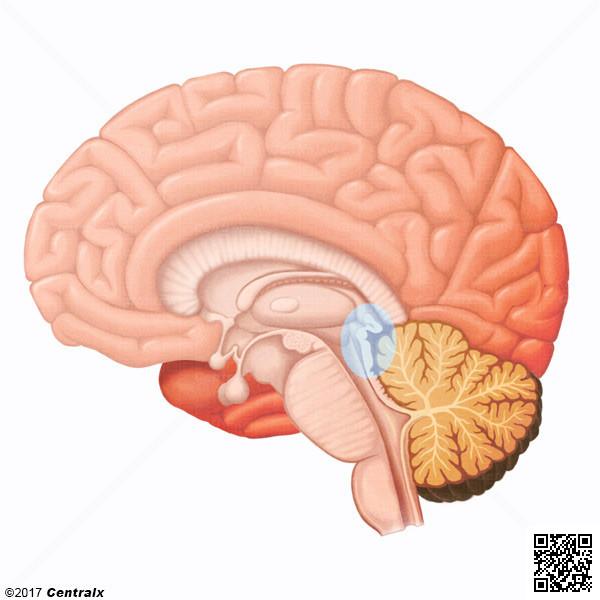 Habénula - Atlas de Anatomía del Cuerpo Humano - Centralx