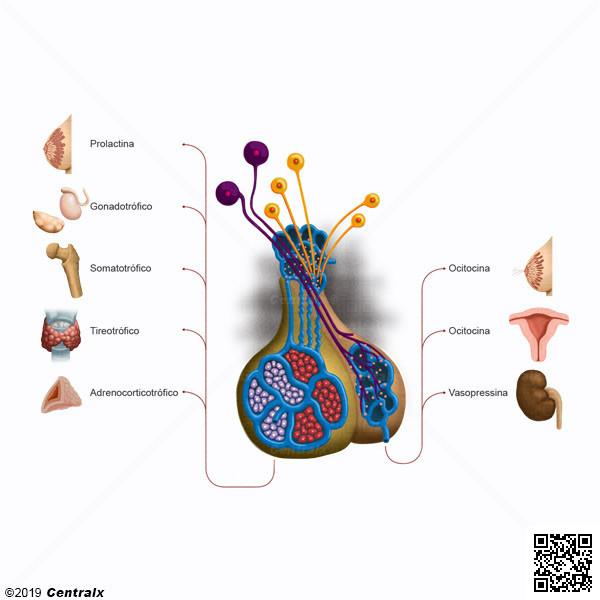 Sistema Hipotálamo-Hipofisario