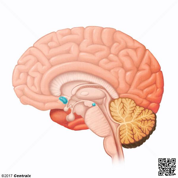 Núcleo Accumbens - Atlas de Anatomía del Cuerpo Humano - Centralx
