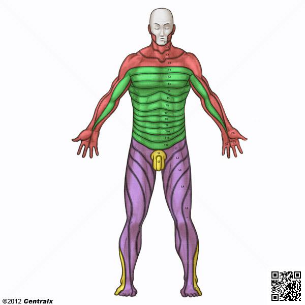 Dermatomas Vista Posterior - Atlas de Anatomía del Cuerpo Humano ...