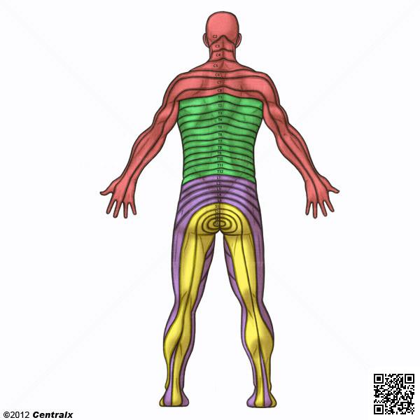 Nervios Torácicos - Atlas de Anatomía del Cuerpo Humano - Centralx