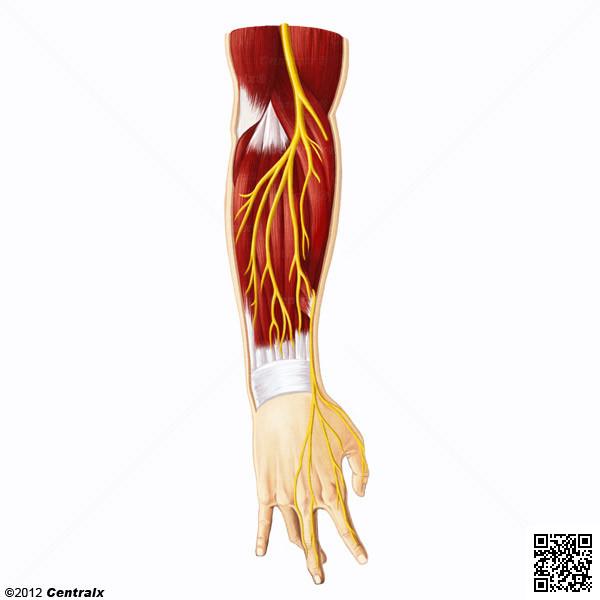 Nervio Radial - Atlas de Anatomía del Cuerpo Humano - Centralx