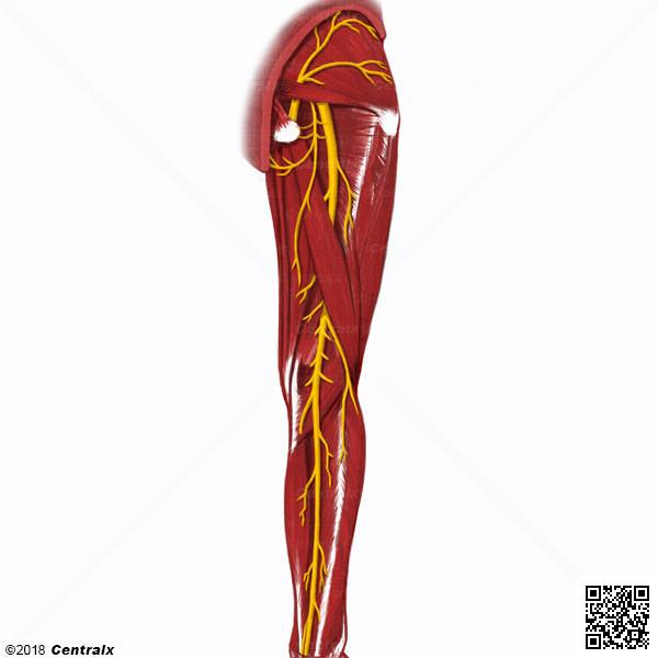 Nervio Tibial