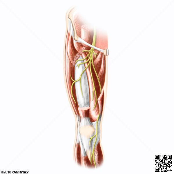 Nervio Femoral - Atlas de Anatomía del Cuerpo Humano - Centralx
