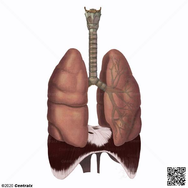 Sistema Respiratorio - Atlas de Anatomía del Cuerpo Humano - Centralx