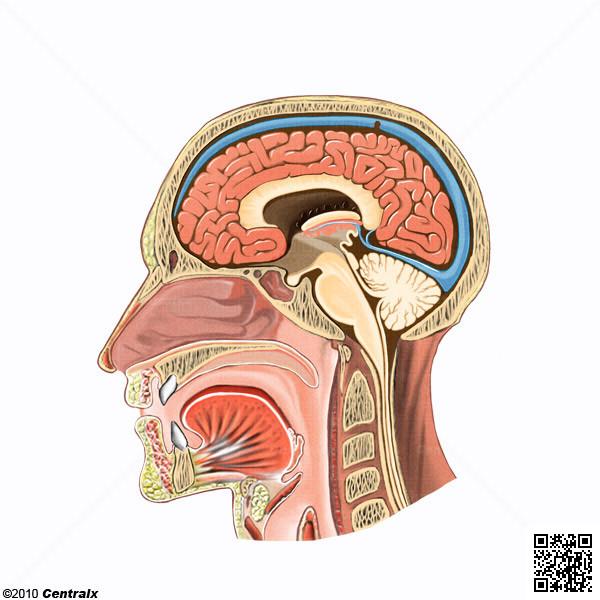 Faringe - Atlas de Anatomía del Cuerpo Humano - Centralx