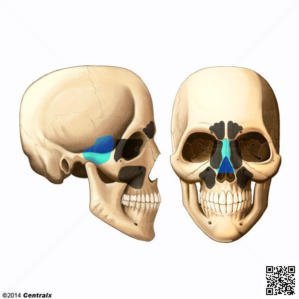 Seno Esfenoidal - Atlas de Anatomía del Cuerpo Humano - Centralx