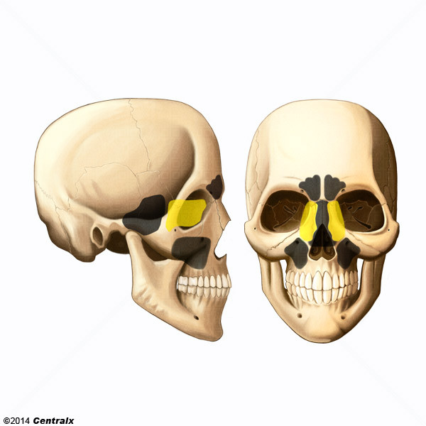 Senos Etmoidales - Atlas de Anatomía del Cuerpo Humano - Centralx