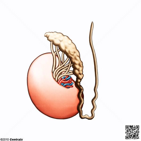 Epidídimo - Atlas de Anatomía del Cuerpo Humano - Centralx