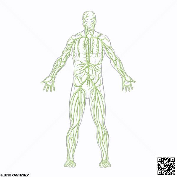 Sistema Linfático - Atlas de Anatomía del Cuerpo Humano - Centralx
