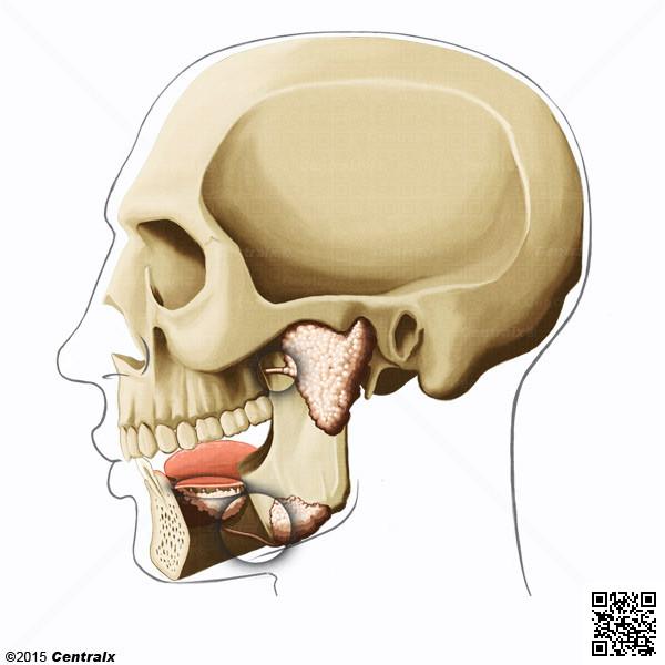 Glándulas Salivales - Atlas de Anatomía del Cuerpo Humano - Centralx