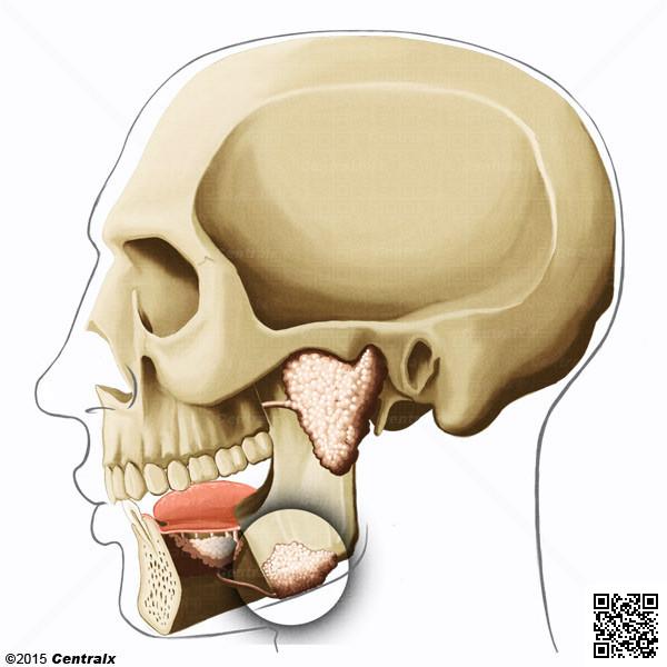 Glándula Submandibular - Atlas de Anatomía del Cuerpo Humano - Centralx