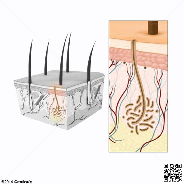 Glándulas Ecrinas - Atlas de Anatomía del Cuerpo Humano - Centralx