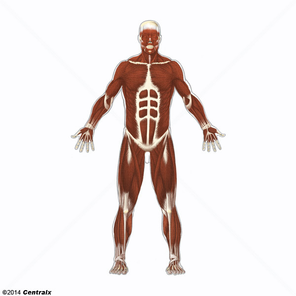 Músculo Esquelético - Atlas de Anatomía del Cuerpo Humano - Centralx