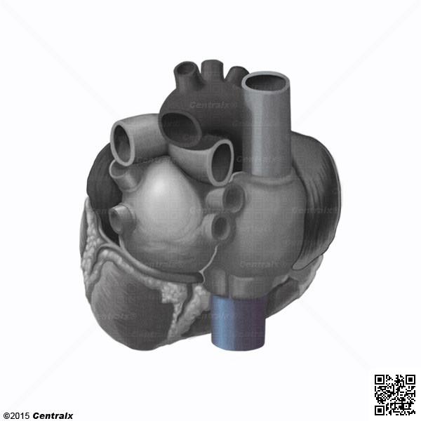 Vena Cava Inferior - Atlas de Anatomía del Cuerpo Humano - Centralx