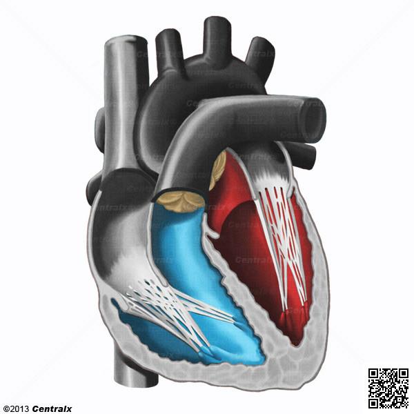 Ventrículos Cardíacos