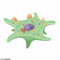 Fibroblastos