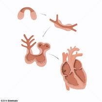 Corazón Fetal