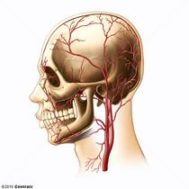 Arterias Temporales