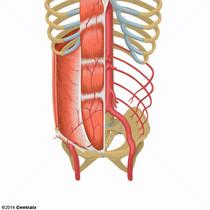 Arterias Epigástricas