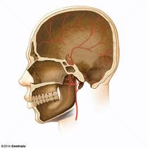 Arterias Meníngeas