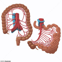 Arterias Mesentéricas