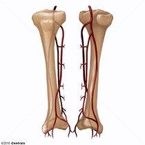 Arterias Tibiales