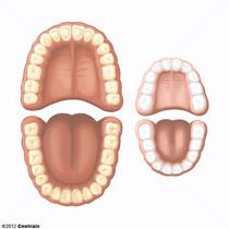 Dentición