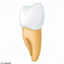 Diente Premolar