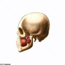 Músculos Pterigoideos