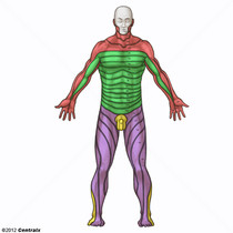 Dermatomas Vista Posterior