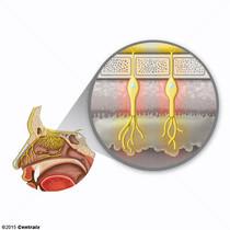 Neuronas Receptoras Olfatorias