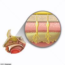 Mucosa Olfatoria